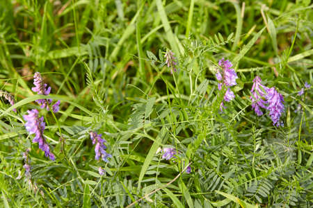 faboideae: A pink colored, fully blossoming vetch is growing in green grass.