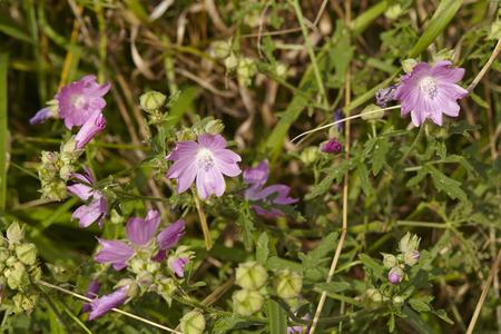 malvales: A fully blossoming, blue Malva (Malva sylvestris) taken in front of green grass.