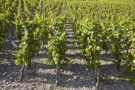 winegrowing: Vine stocks into a vineyard near Saarburg (Rhineland-Palatinate, Germany) taken at full sunlight. Stock Photo