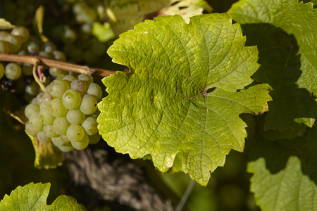 oenology: Grapes and leaves at a vine stocks into a vineyard near Saarburg (Rhineland-Palatinate, Germany) taken at full sunlight.