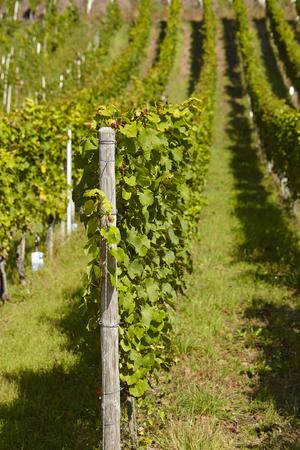 oenology: Vine stocks into a vineyard near Saarburg (Rhineland-Palatinate, Germany) taken at full sunlight. Stock Photo
