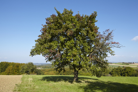 A single pear tree in an open landscape (Saarland, Germany) taken at bright sunlight and a cloudless blue sky. Stock Photo