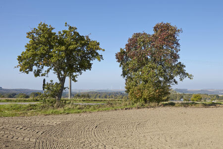 Two pear trees in an open landscape (Saarland, Germany) taken at bright sunlight and a cloudless blue sky. Stock Photo