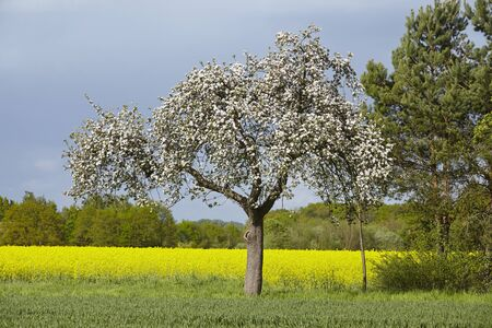 fruit tree: A white blooming fruit tree into a landscape in sunlight and a dark sky. A yellow blooming colza field is located in the background. Stock Photo