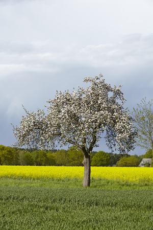 bloomy: A white blooming fruit tree into a landscape in sunlight and a dark sky. A yellow blooming colza field is located in the background. Stock Photo