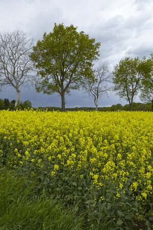 bloomy: Trees and a yellow blooming colza field with a rainy sky photographed at contre-jour light.