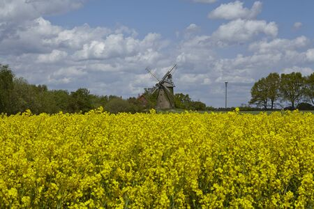 coleseed: The windmill Seelenfeld (Petershagen, Germany) is a dutch type of windmill and is part of the Westphalia Mill Street (Westfaelische Muehlenstrasse). In the foreground is a yellow blooming colza field.