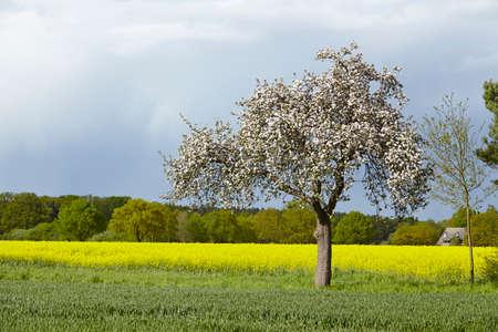 arbre fruitier: A la floraison des arbres fruitiers blanc dans un paysage au soleil et un ciel sombre. Une floraison champ de colza jaune est situ� dans l'arri�re-plan.