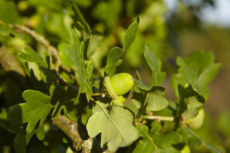 fagaceae: Acorns are growing at an oak tree in the Luneburg Heath (Germany) near Egestorf (Lower Saxony, Rural District Harburg).