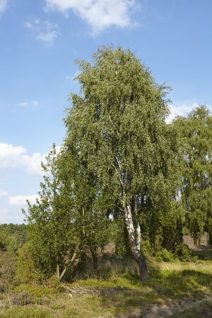 sustainable tourism: A birch tree stands in the landscape of the Luneburg Heath (Germany) near the small town Wilsede (Lower Saxony, Rural District Harburg).