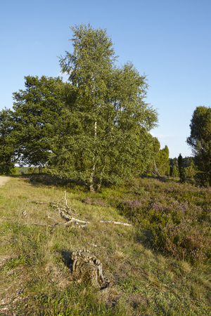 sustainable tourism: The heathland of the Luneburg Heath (Germany) with trees and a rotten stump near the small town Wilsede (Lower Saxony, Rural District Harburg).