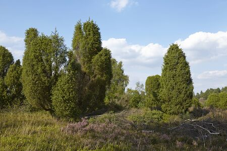 sustainable tourism: The heathland (landscape() with juniper bushes of the Luneburg Heath (Germany) near the small town Wilsede (Lower Saxony, Rural District Harburg) photographed with daylight and a blue sky.