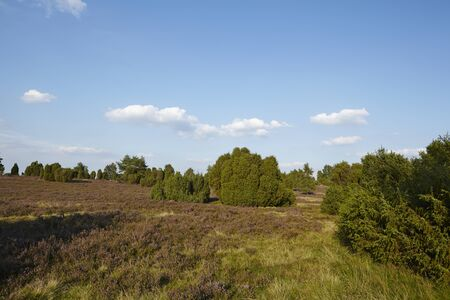 sustainable tourism: The heathland (landscape() of the Luneburg Heath (Germany) near the small town Wilsede (Lower Saxony, Rural District Harburg) photographed with daylight and a blue sky.