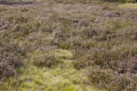 sustainable tourism: The heathland (landscape() of the Luneburg Heath (Germany) near the small town Wilsede (Lower Saxony, Rural District Harburg) photographed with daylight.