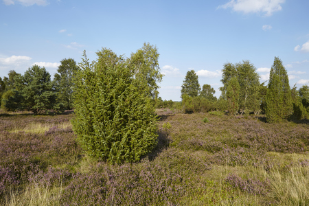 sustainable tourism: A juniper grows in the heathland (landscape() of the Luneburg Heath (Germany) near the small town Wilsede (Lower Saxony, Rural District Harburg). Stock Photo