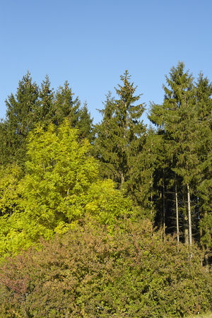 autumnally: The edge of a forest with conifers and foliage trees with yellow and green leaves taken at sunny daylight against a bright blue sky.