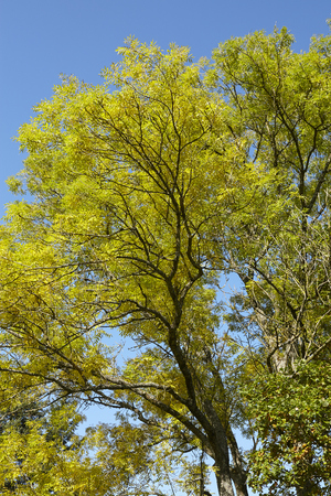 autumnally: Autumnally tree tops with yellow and green leaves photographed with sunshine against a bright blue sky.