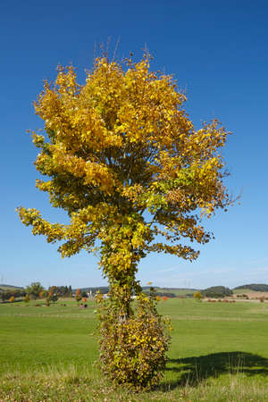 autumnally: An autumnally tree with green and yellow leaves photographed against a bright blue sky at sunny daylight.