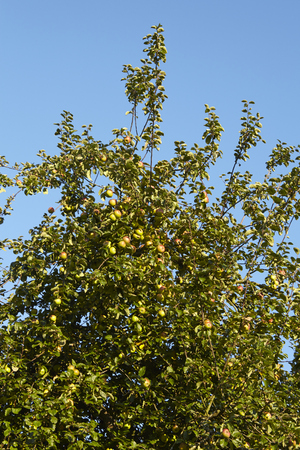 green apples: An apple tree in autumn with many apples photographed at sunny daylight against a blue sky. Stock Photo