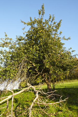 autumnally: An apple tree in autumn with many apples photographed at sunny daylight against a blue sky. Stock Photo