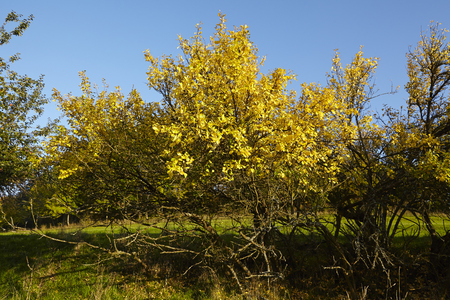 broadleaf: Some trees and bushes in fall with yellow and green leaves photographed in sunshine and blue sky.