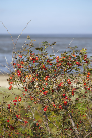 sky brunch: A bush with rosehips grow at the coast of the Isle Amrum (Germany, Schleswig-Holstien, North Frisia) in front of the mudflat. Stock Photo