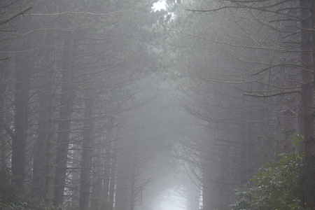 schleswig holstein: A forest on the Isle Amrum (Germany, Schleswig Holstein, North Frisia) photographed at fog.