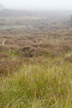 autumnally: A heathland grows on the isle Amrum (Germany, Schleswig-Holstein, North Frisia) at fog and grey weather.