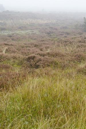 heathland: A heathland grows on the isle Amrum (Germany, Schleswig-Holstein, North Frisia) at fog and grey weather.