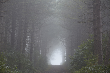 autumnally: A forest on the Isle Amrum (Germany, Schleswig Holstein, North Frisia) photographed at fog.