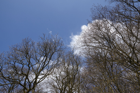 Some tree tops stretches into the blue sky with white clouds.