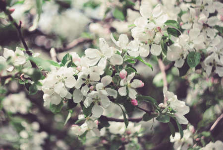 flowers of the apple tree photo