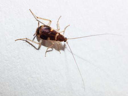roach isolated on white background, macro photography