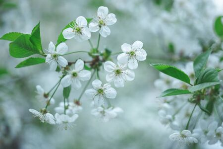 many little white tree flowers
