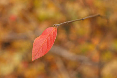 red withering autumn leaf on stick selective focus Stock Photo