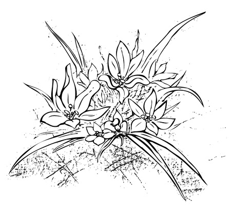 Edelweiss simple hand drawn illustration.