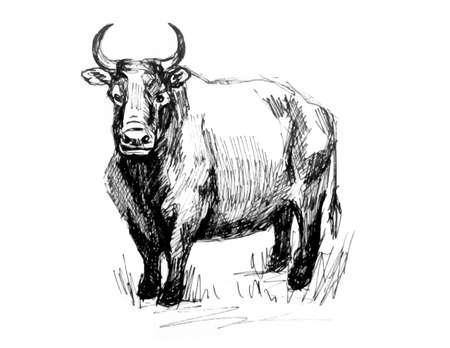 Bull. Line drawing. Realistic image Vektoros illusztráció