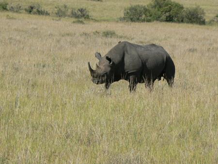 Rhinoceros in Kenya
