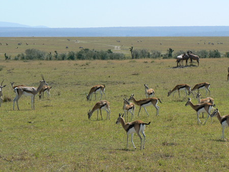 Antelopes in Kenya Stock Photo