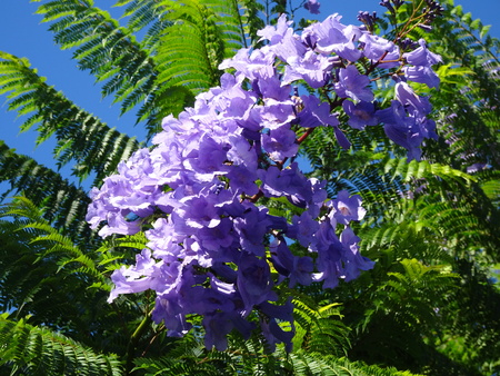 Jacaranda rosewood tree
