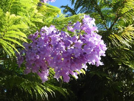 Jacaranda, rosewood tree