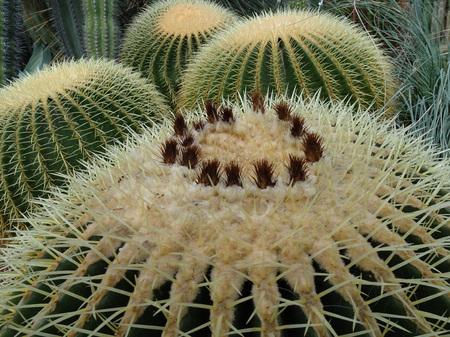 Cactus, Cactaceae, Cactus,