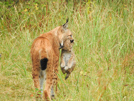 Lynx in the forest with offspring