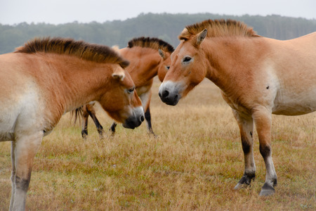 Przewalski horse in the great outdoors