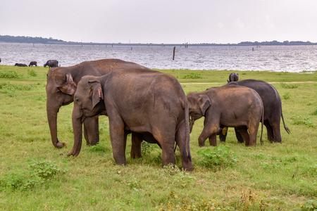 Elephants in the Udawalawe National Park on Sri Lanka