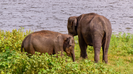 Elephants in the Udawalawe National Park on Sri Lanka