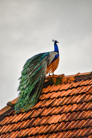 Peacock beautiful colorful bird on Sri Lanka