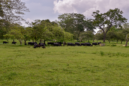 Buffalos in Udawalawe National Park on Sri Lanka 免版税图像