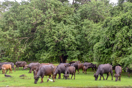 Buffalos in Udawalawe National Park on Sri Lanka 写真素材