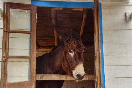 A beautiful donkey looks out of a stable Standard-Bild - 119516044
